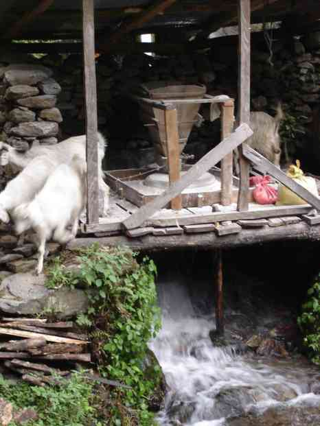 Goats getting into the water-powered dough-mixer
