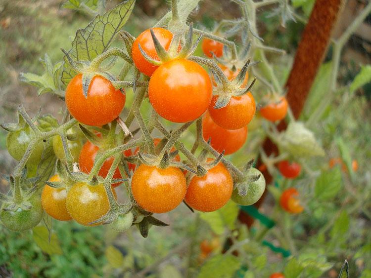 Отглеждане на чери домати у дома 4