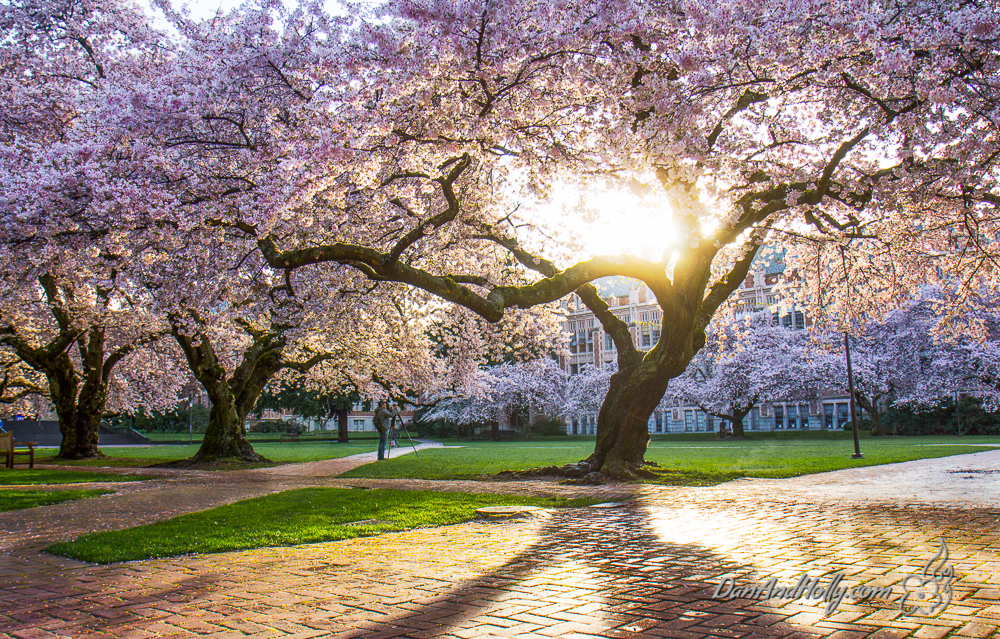 University of Washington Cherry Trees