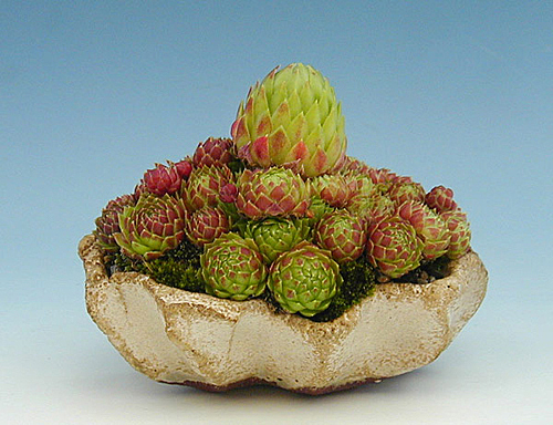 Sempervivum sp.