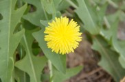 A dandelion...I suspect it is not native to Afghanistan.
