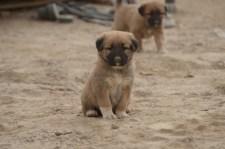 a COP puppy