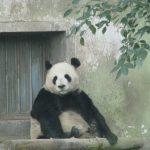 上海動物園  パンダ