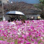 キリンビール福岡工場 秋桜園