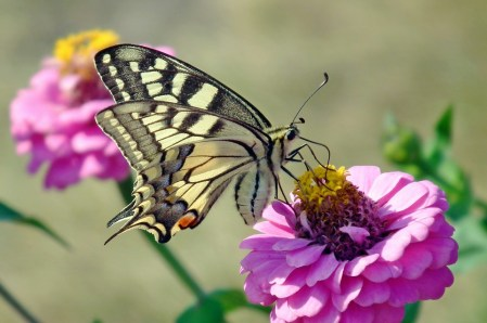 The butterfly step is a basic ballroom dance step.