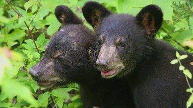 Appalachain-bear-rescue-cub2