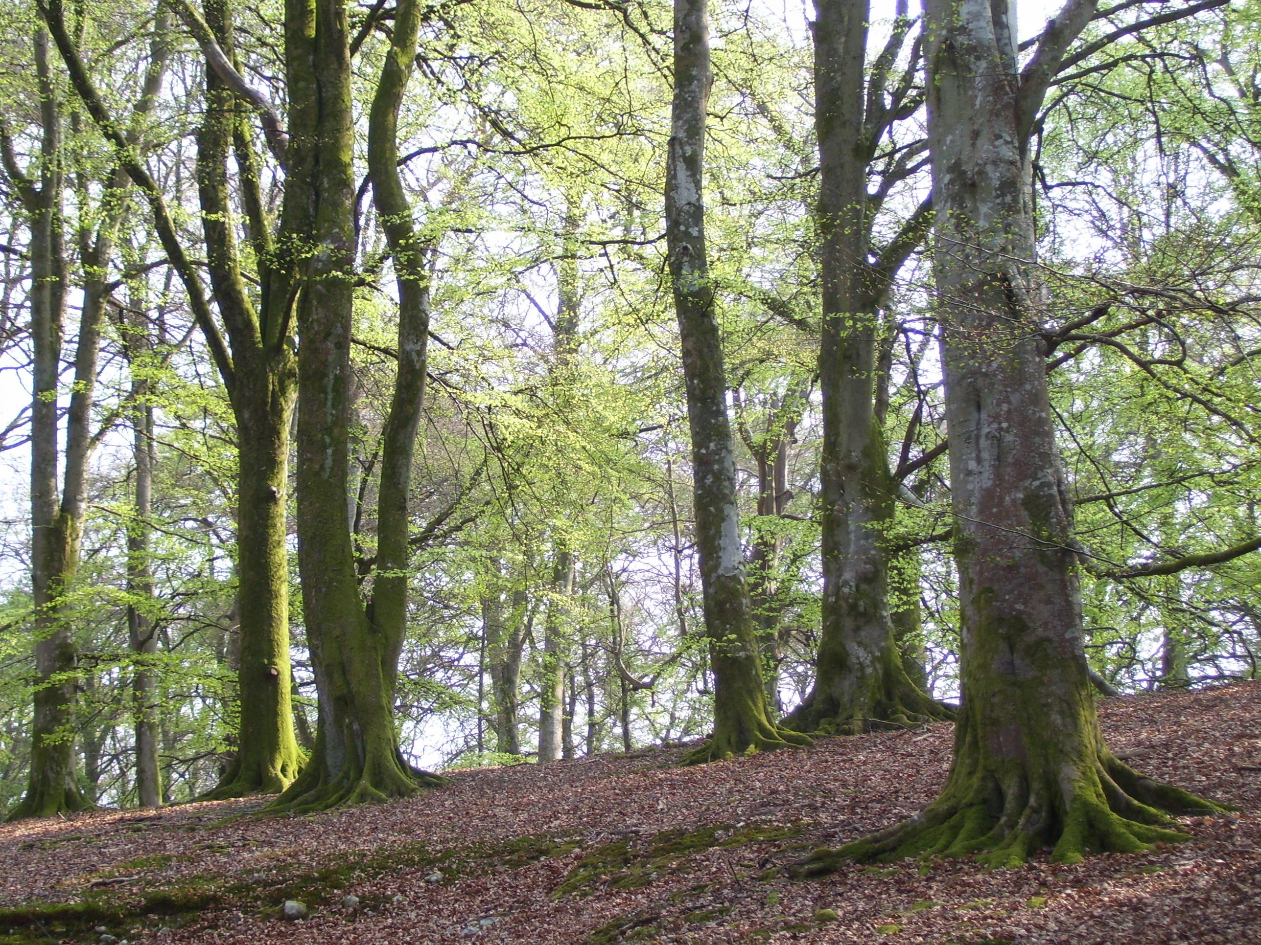 The Tuesday Tree Beech Woods In Springtime  Dancing Beastie