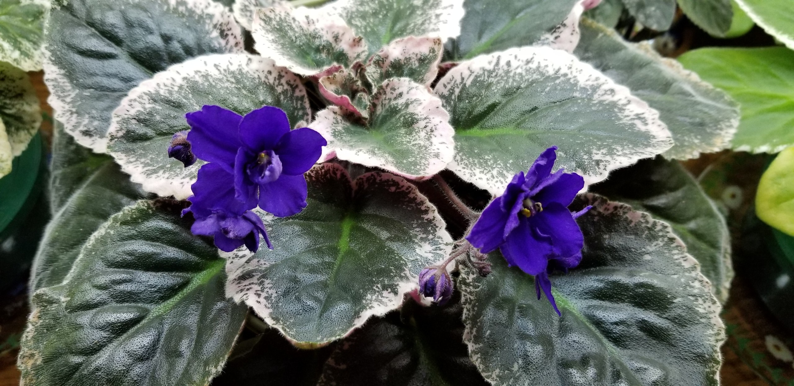 Dark deep royal blue-violet purple and semi-double                                                                                                                                                                                          Size/growth habit: 50% Variegated mostly on edges, leaves lay out flat
