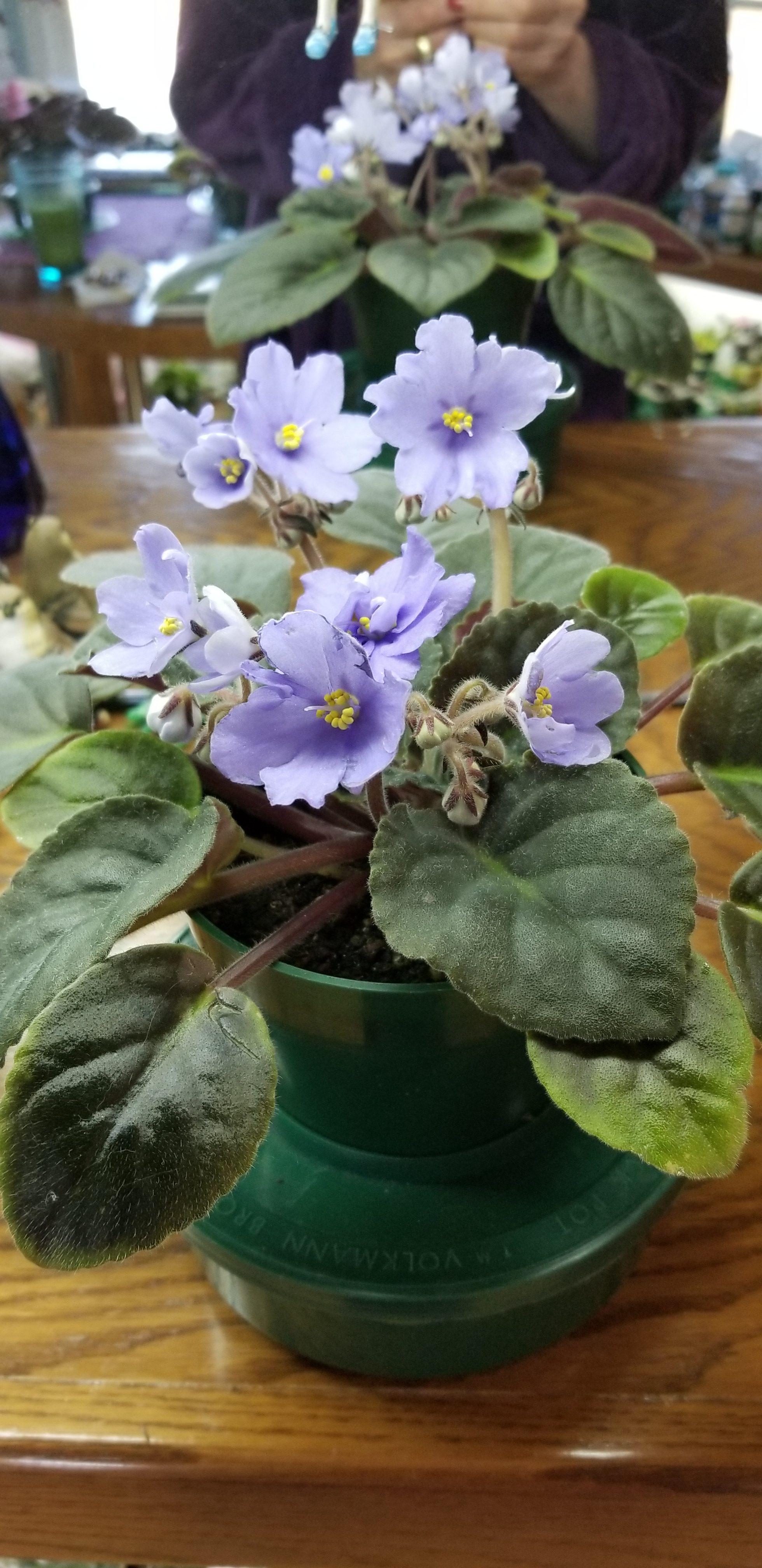 "Large standard Semi-double periwinkle light blue flowers, stem has 3-5 blooms, 1.75"" bloom dia, foliage quilted flat, Hybridizer Granger's Egerdom, 1978"