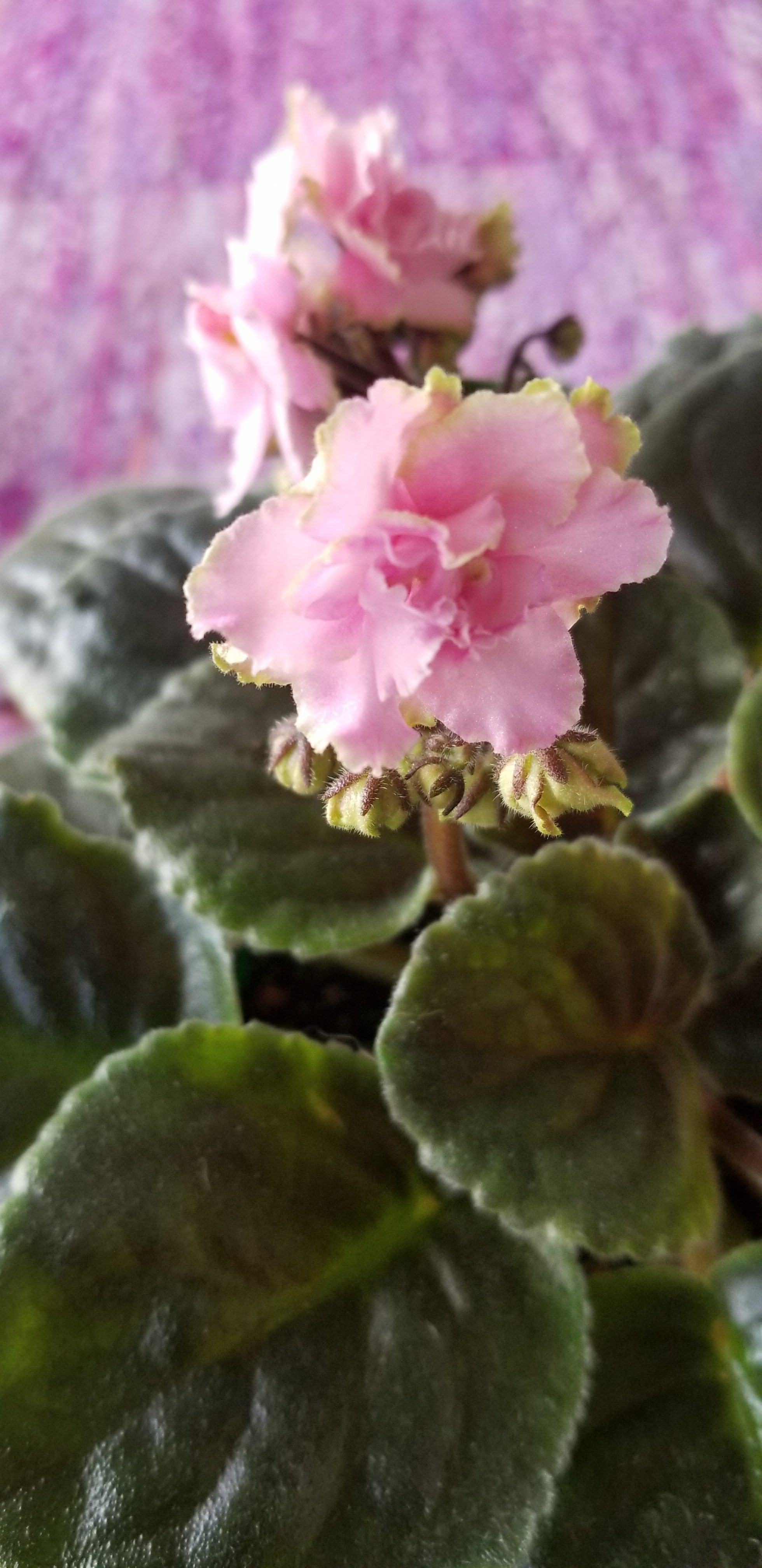 """Standard size, Pink 1.75"""" flower with white to green edges, blooms on tall stems in clusters. Foliage lightly quilted., Hybridizer Lyndon Lyon."""