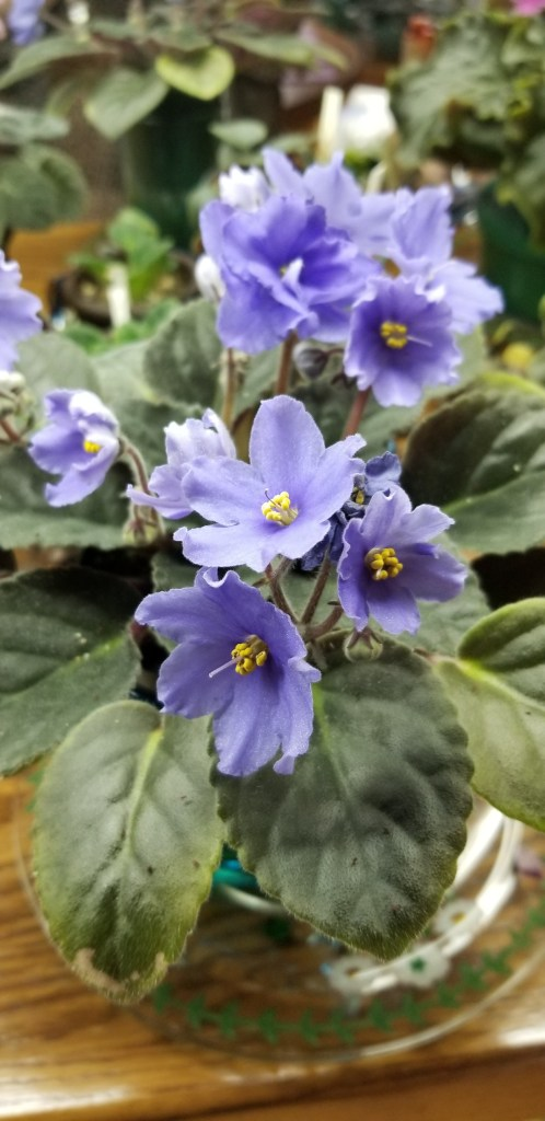 """Semi-double periwinkle light blue flowers, stem has 3-5 blooms, 1.75"""" bloom dia. size, large standard plant                                                                                                                                                                               Size/growth habit:  Medium green foliage quilted 10"""" plant dia                                                                                                                                                                        :   Semi-double periwinkle light blue flowers, stem has 3-5 blooms, 1.75"""" bloom dia. size                                                                                                                                                                               Size/growth habit:  Medium green foliage quilted 10"""" plant dia"""