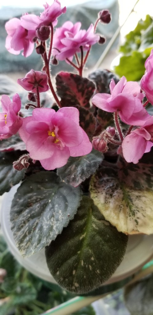 Hybridizer:  P. Harris, AVSA#7261) 11/24/89          Type: semi-miniature          Color:  Double bright pink, 2-tone wavy            Growth Habit:  semi-miniature, trailer         Special Notes: variegated leaves in center of plant pinkish variegation, plain