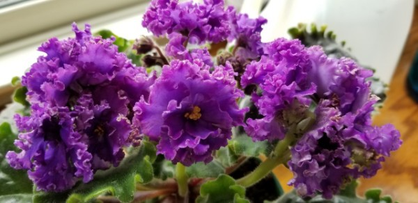 Standard African Violet, Russian Variety, Hybridizer:  Svetlana Repkina (T.Dadoin)                                                                                                                                                                                                                                                                                                                                                  Type:  Russian name Vodianoi, large standard                                                                                                                                                                             Color:   Very large fully double dark blue flowers with the blue transitioning from red purple to pink and