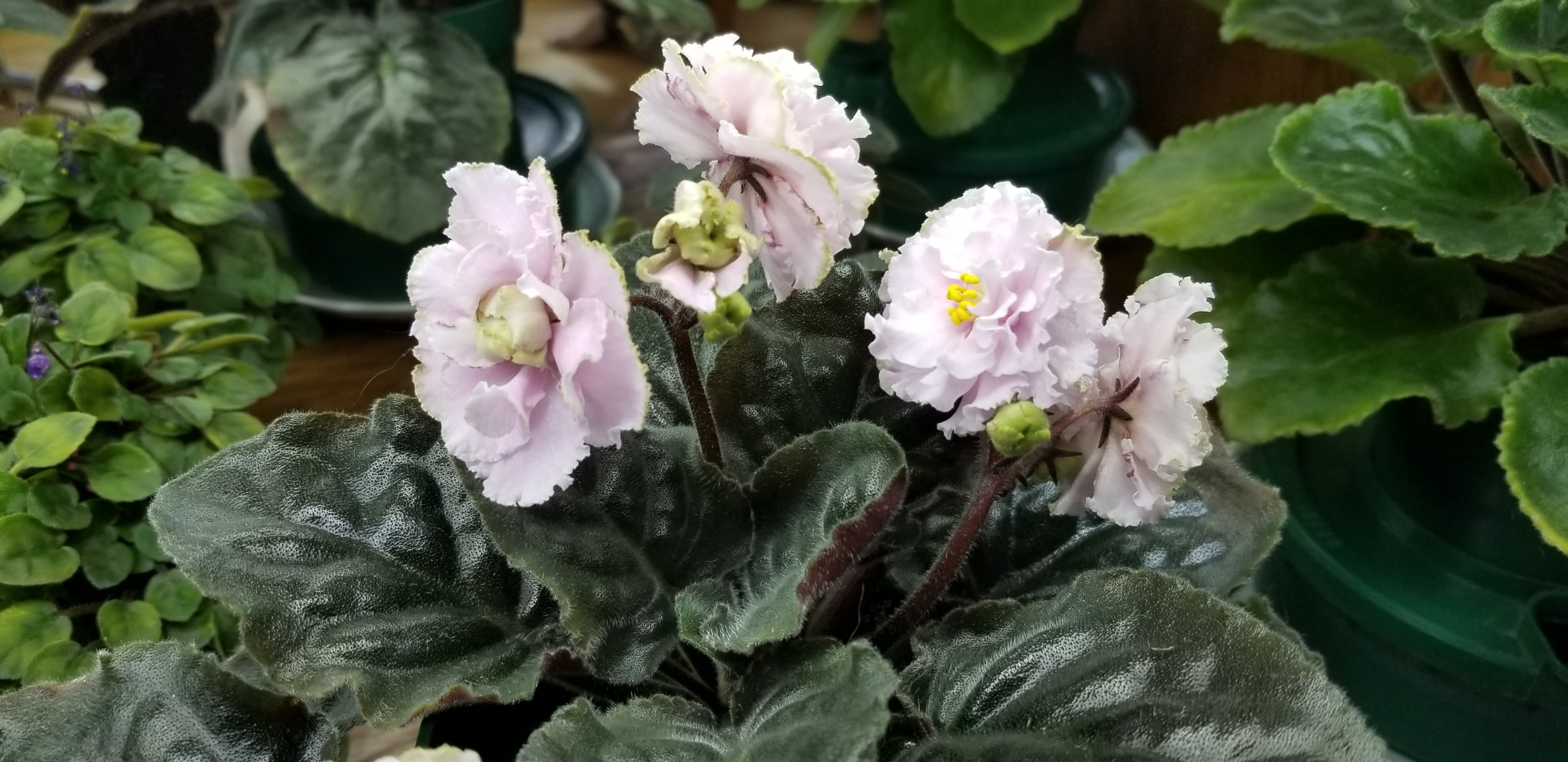":  White to pale pink 2.25"" blooms semidouble large wavy star ruffled.                                                                                                          Size/growth habit:  Medium green pointed quilted ovate foliage"