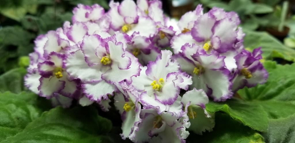"""Hybridizer: Optimara ?                                                                                                                                                                                                                                                                                                                                                   Type:                                                                                                                                                                                  Color:   White field with magenta edge, bloom 1.25"""" to 1.75"""" dia, clusters of 6-9 blooms on one stem  in center top of plant                                                                                                                                                                                                                                          Size/growth habit:  Standard size, leaf growth ruffled slightly raised"""