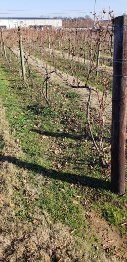 Wine Vines at Beachaven Vineyard