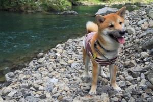 柴犬ハナ 生後8ヵ月 川遊び