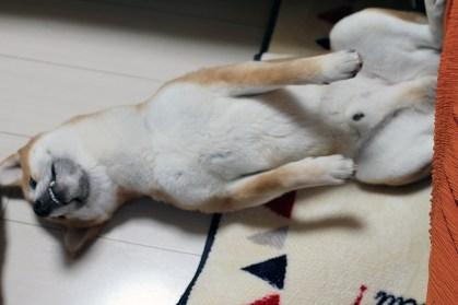 柴犬ハナ、眠い!