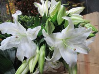 casablanca lilies