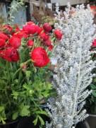 Ranunculus and Kochia