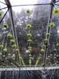 hanging garden spider mums