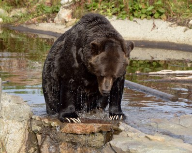 Grizzly Bear, Grouse Mountain, B.C.