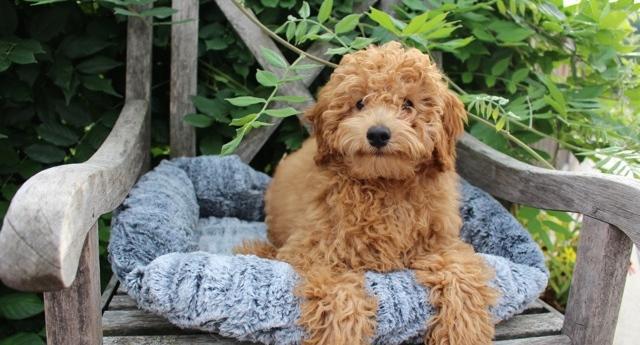 DANDYS DOODLES Miniature Goldendoodles