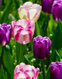 tulip march 2014