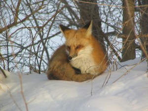 fox-in-the-snow-1-1563450-1280x960
