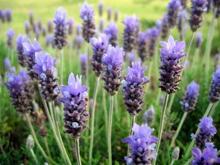 lavender-field-1410156 (2)