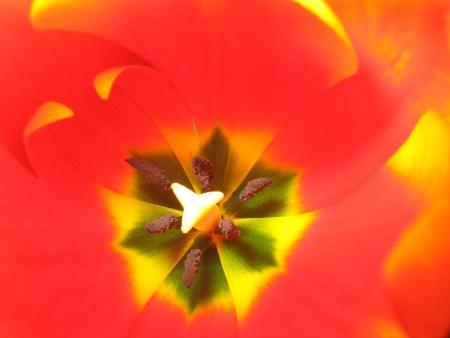 tulip-1404534