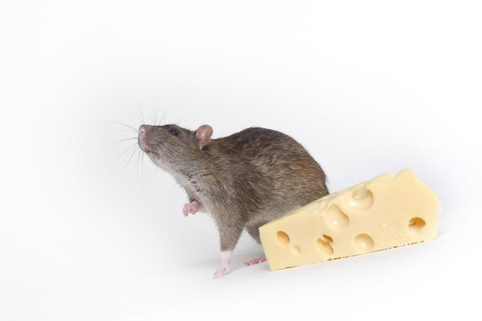 grey-rat-with-cheese-1322331