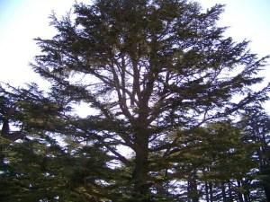 111-mighty-cedars