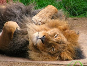 Sleeping Lion by Rennet Stowe on Flickr (creative commons)