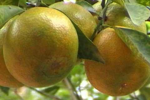 Cam xoàn là một trong những đặc sản của tỉnh Vĩnh Long - VietFlavour.com