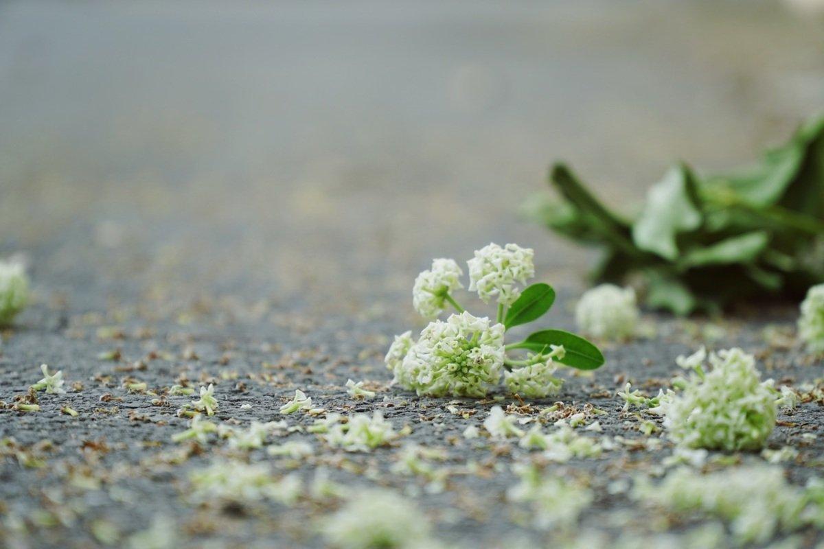 Có một Sài Gòn vương mùi...hoa sữa - BlogAnChoi