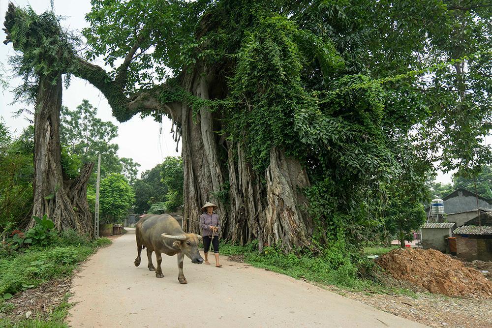 Giữ cây đa là cứu hồn làng