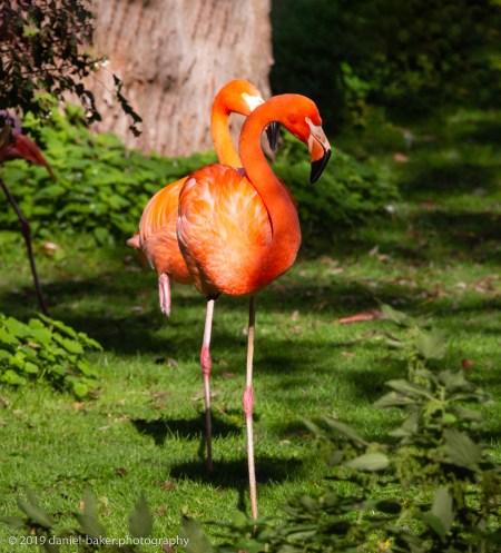 Flamingos at Birdland October 2019