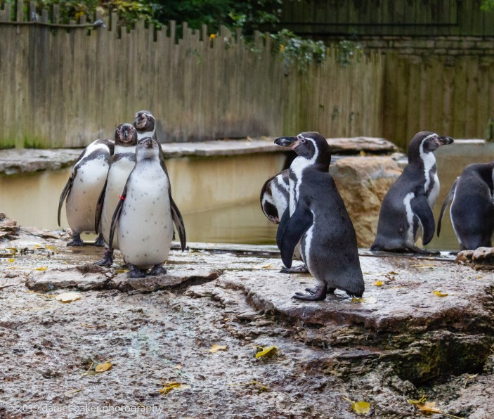Humboldt penguins at Birdland October 2019