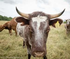 cows at Croome