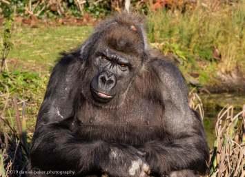 Gorillas at Bristol Zoo