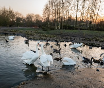 Swans on the lake at WWT Slimbridge