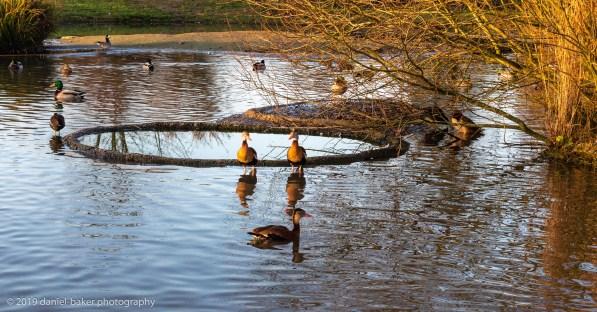 Birds on a lake at WWT Slimbridge