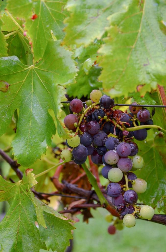 vinícola miolo - vale dos vinhedos - bento gonçalves -turismo