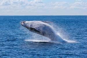 quando vedere le balene di samana
