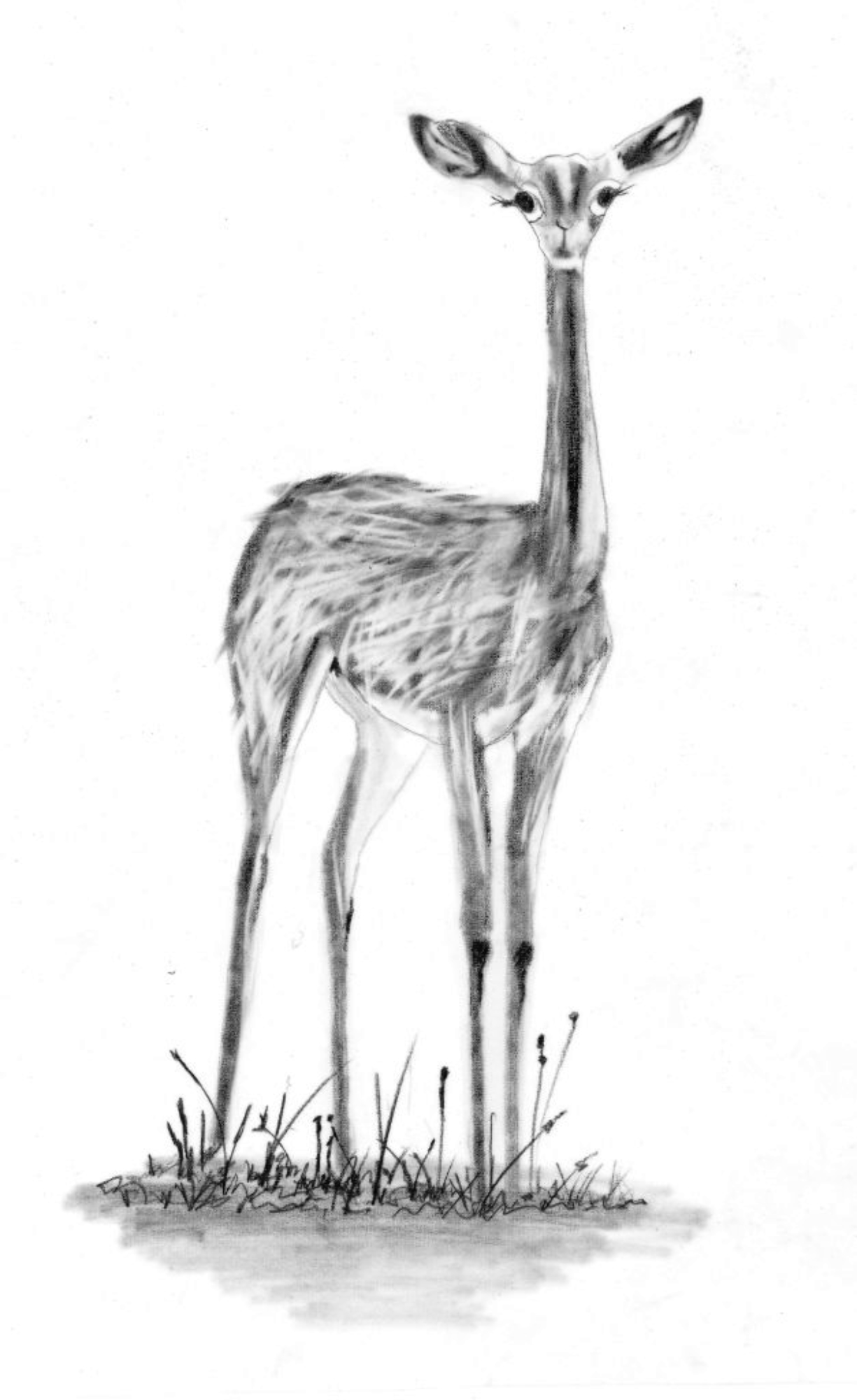 illustration_aeraser gazelle_original