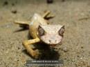 Satanic leaf-tailed gecko (Uroplatus phantasticus), Reserve Peyrieras