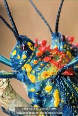 Mating rainbow milkweed locusts (Phymateus saxosus), Sahamahitsy
