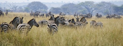 almost as many zebra in some parts of the caldera as wildebeest!_db