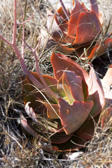 beautiful succulents populate the Isalo park